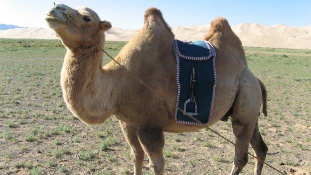 Kameltrekking: Kamelreiten durch die Wüste
