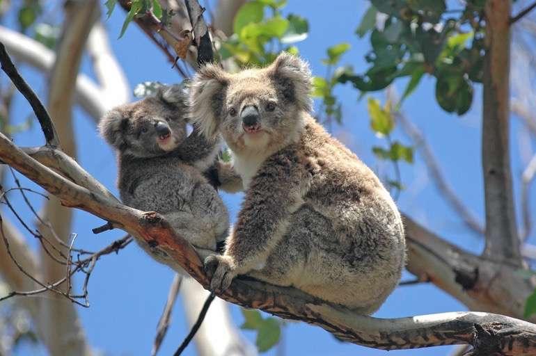 Neugierige Koala Bären