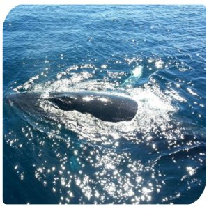 Backpacker-Australien-Whalewatching