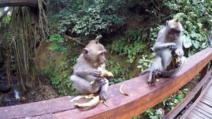 herumlaufende Affen, Bali
