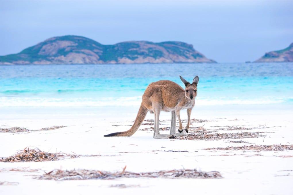 Einreise in Australien-Känguru
