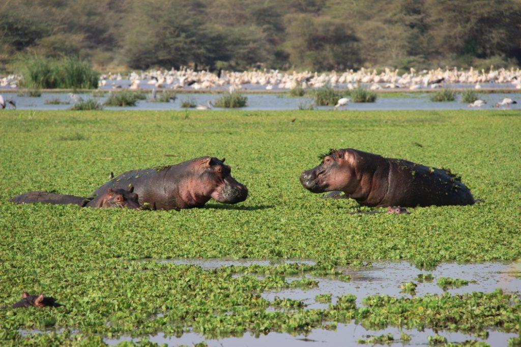 Lake-Manyara, Hippo, Tasmania