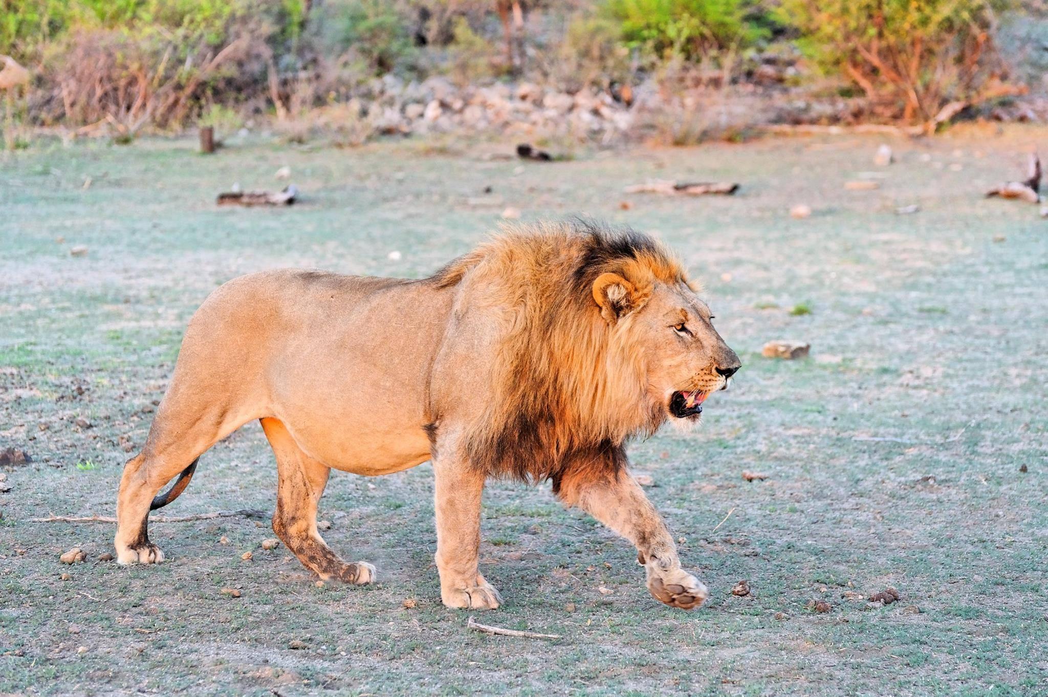 Löwe in Madikwe Game Reserve