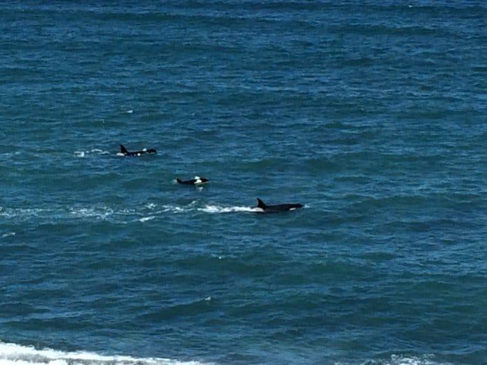 Orcas vor der Küste