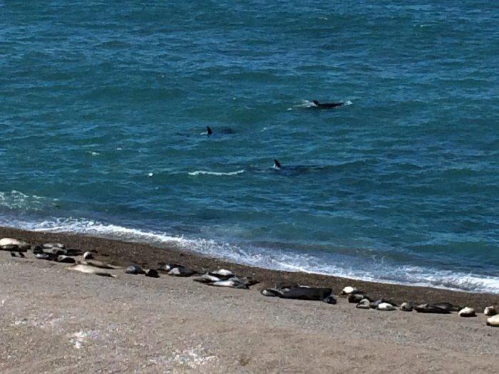 Orcas vor der Küste mit Seelöwen
