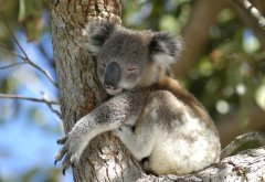 koala at Port Stephens area, NSW, Australia.