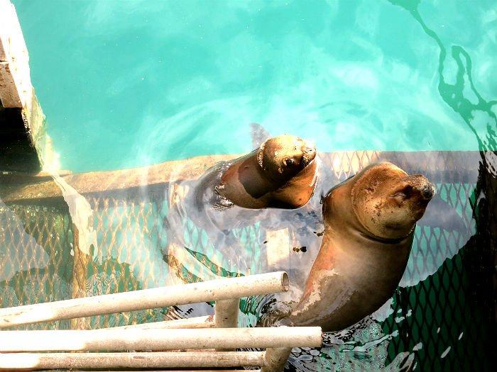Seelöwen in Puerto Madryn