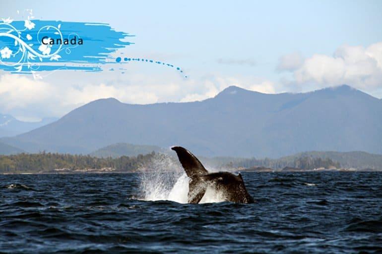 Whale_canada