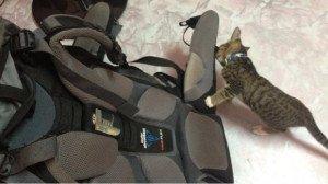 backpack-cat