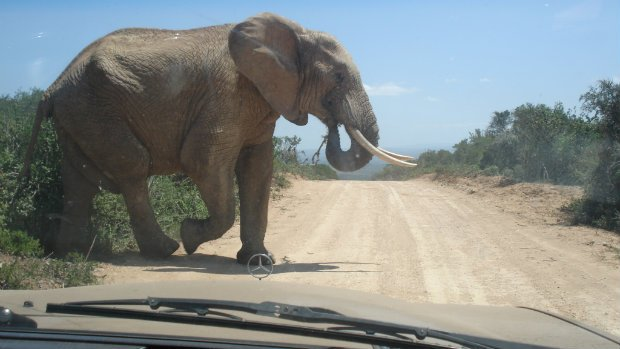Elefant Südafrika