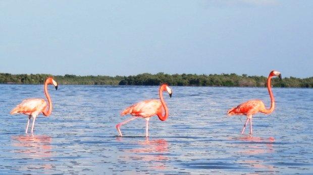 flamingos-isla-mujeres-1
