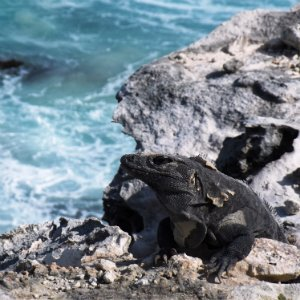 iguana-mexiko-7