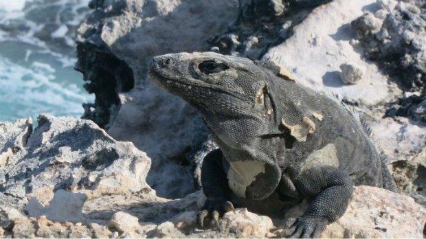 isla mujeres iguana