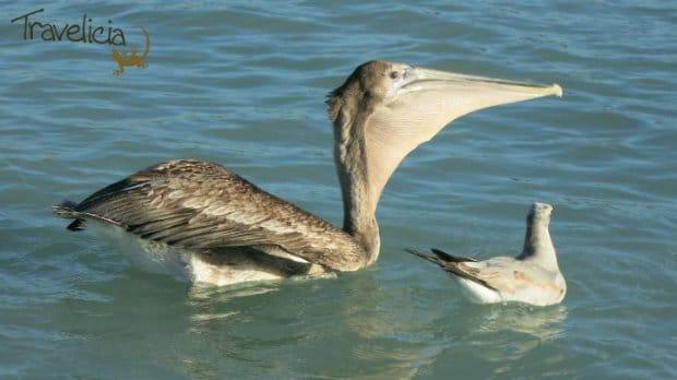 isla mujeres pelikane