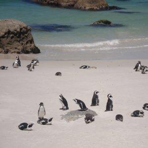 Brillenpinguine Südafrika