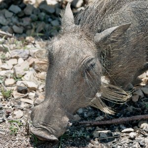 Warzenschwein Südafrika